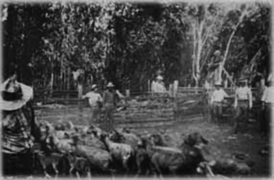 Herding sheep on Charles Gay's ranch, Ko'ele, early 1900s. Gay also kept cattle, horses, mules, and goats. (Photo courtesy Violet Gay.)
